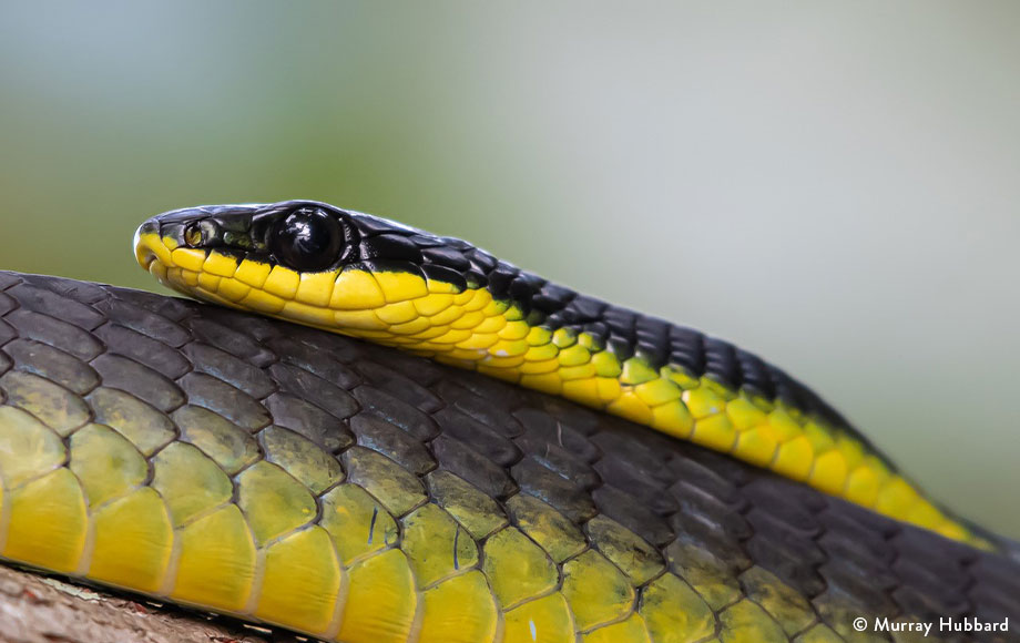 Common Tree-Snake in the Daintree Rainforest