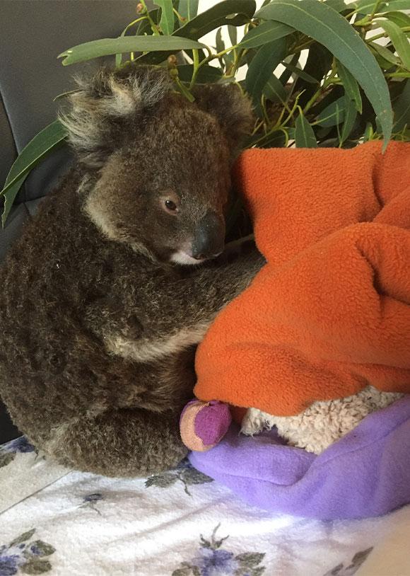 Rescued Koala on Kangaroo Island