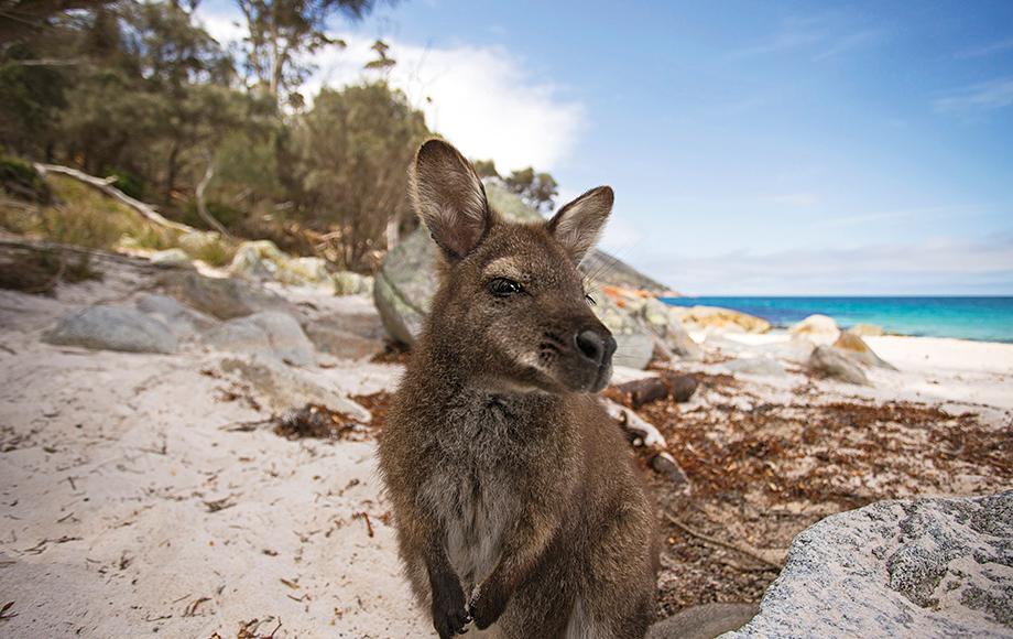 Kangaroo at Kangaroo Island