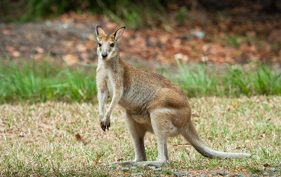 Wallaby at Thala Beach